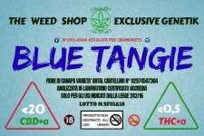 Blue Tangie